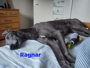 Ragnar   Homes4Hounds