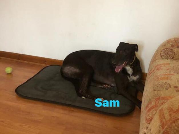 Sam | Homes4Hounds