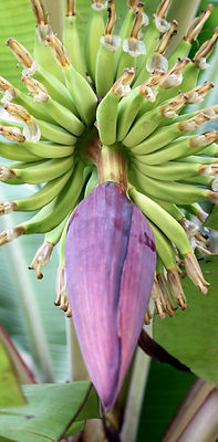 banana-tree-flower-13709390328YG_edited_