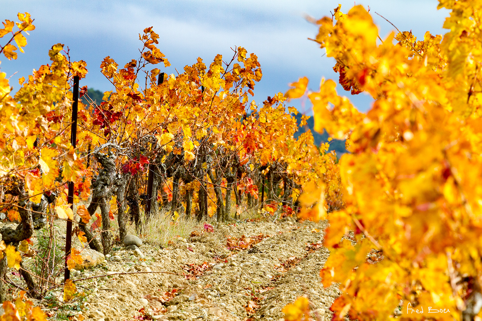 vignes dorées