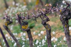 vigne au printemps