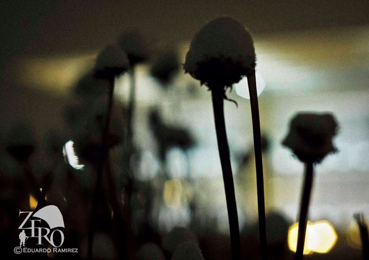 Snow Capped Dandelions