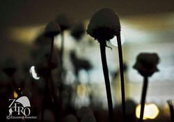 Snow Capped Dandelions