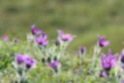 Pasqueflower 1.JPG