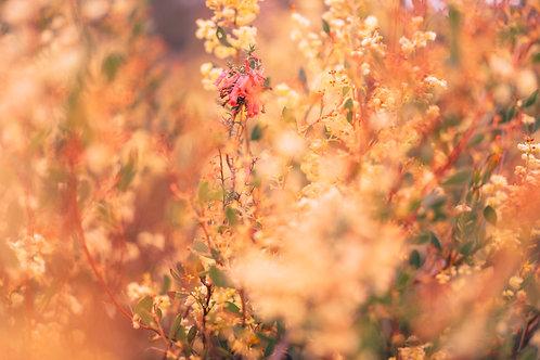 Golden Wattles