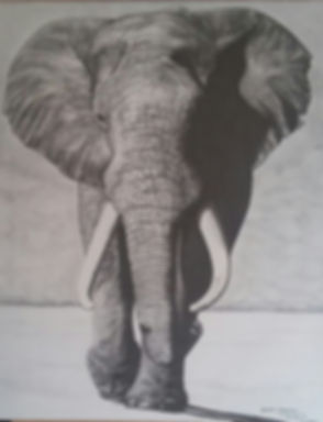 Tusker 24x30 Graphite on Canvas.jpg