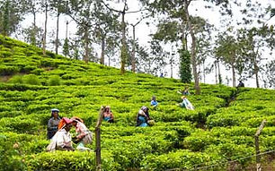 tea-and-spice-plantations.jpg