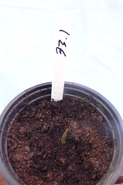 A. Franchetianum 6jun21 33.1.JPG