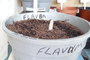 A. Flavum.JPG