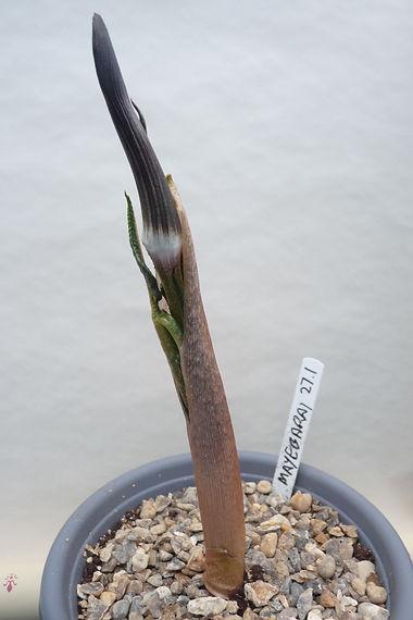A. Serratum mayebarai 11Apr21.JPG