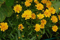Coreopsis Early Sunrise 17Aug18.JPG