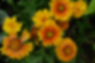 Gaillardia Arizona 17AUg18.JPG