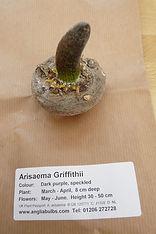 ANGLIA A. GRIFFITHII.JPG