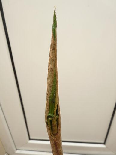 A. Serratum 25Apr21a.JPG