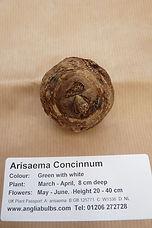 ANGLIA A. CONCINNUM.JPG