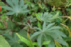 Ricinus Zanzibarensis Aug18.JPG