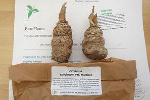 RARE PLANTS SPECIOSUM V MIRABLE.JPG