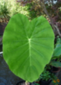 Colocasia Esculenta leaf Aug18.JPG