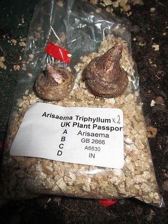 A. Triphyllum.JPG