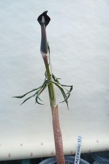A. Serratum mayebarai 15Apr21.JPG