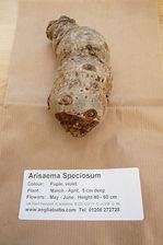 ANGLIA A. SPECIOSUM.JPG