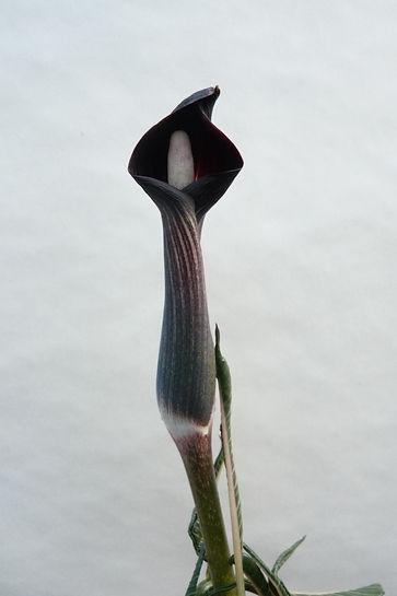 A. Serratum mayebarai 15Apr21 a.JPG