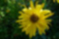 Helianthas Monarch 8Aug18_edited.jpg