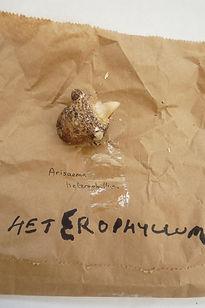 ADVENTUROUS HETEROPHYLLUM.JPG