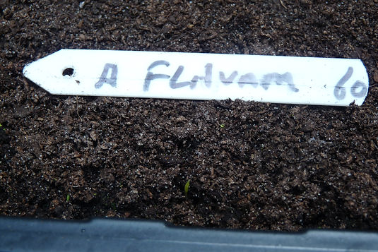 Flavum seed germinating 8 April21.JPG