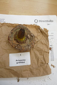 DIRECT A. GRIFFITHII.JPG
