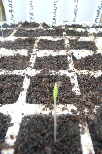 PLANTS WORLD SEEDS A. FLAVUM 5APR21.JPG