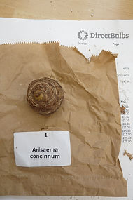 DIRECT A. CONCINNUM.JPG