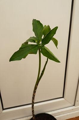 A. Consanguineam stem.JPG