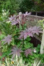 Ricinus New Zealand Purple Aug18.JPG