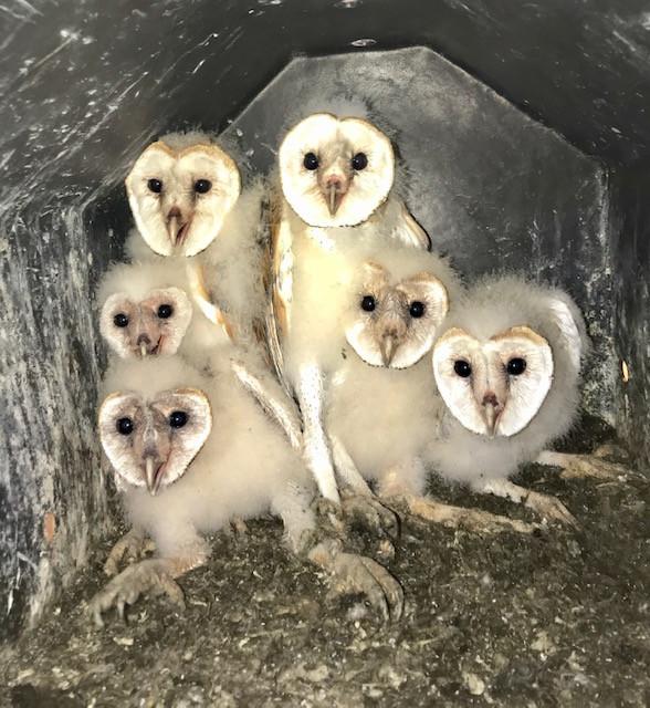 Barn Owlets in the owl barn.jpeg