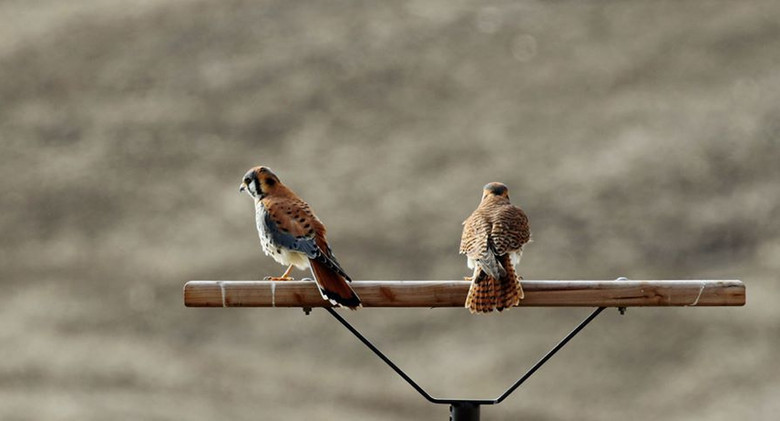 Kestrels hunting on perch