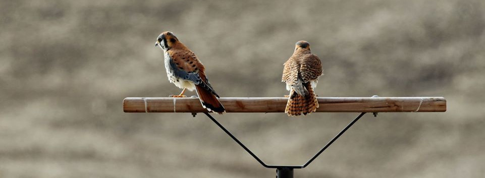 Kestrels on hunting perch