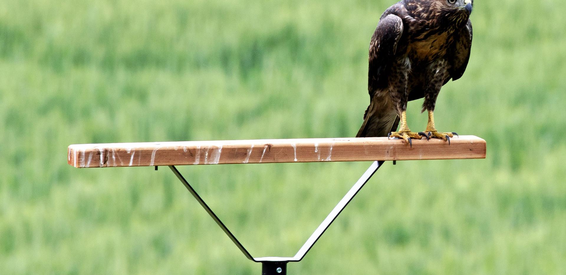 Hawk on perch 2J.jpg