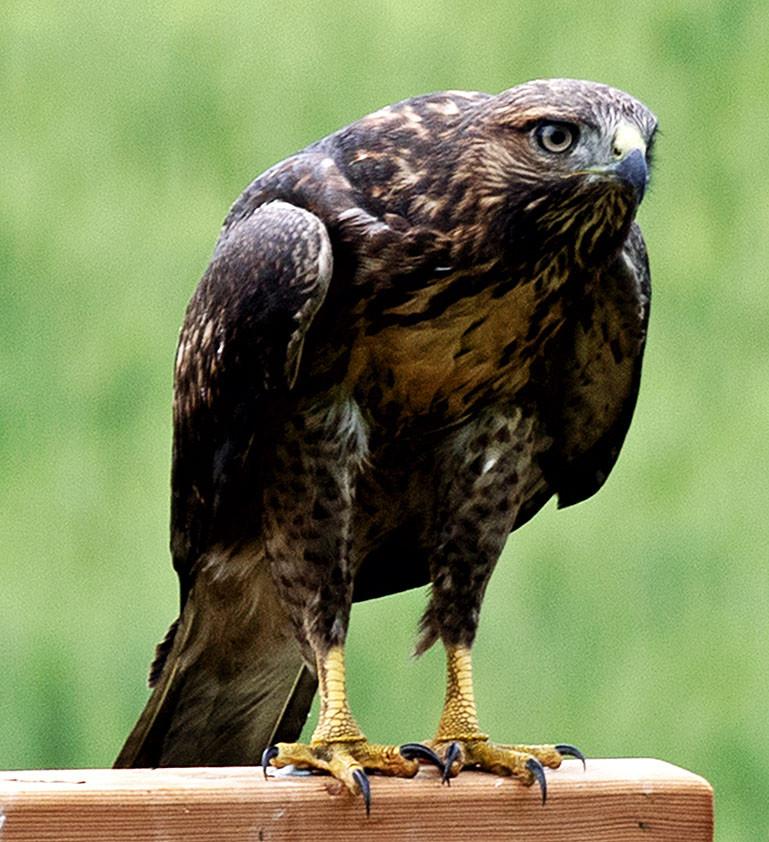 Hawk on perch 3.jpg