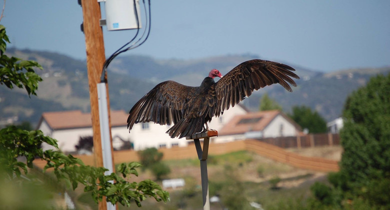 Vulture on the perch