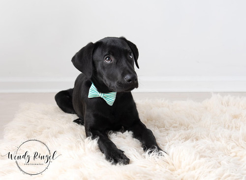 Pet Collar Bow Tie