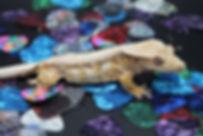 Drippy Crested Gecko