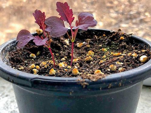 Mustard Seedling