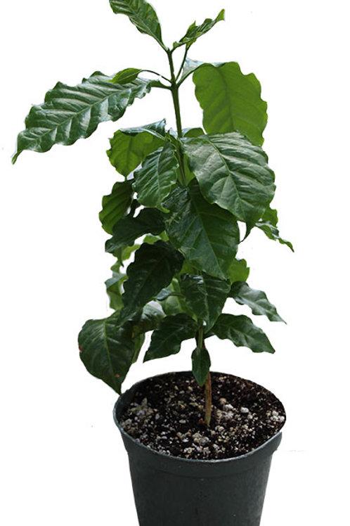 Coffee Plant (Coffea arabica)