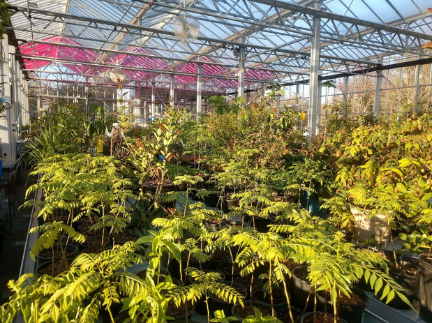 curry plants-greenhouse.jpeg
