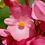 Thumbnail: Begonias