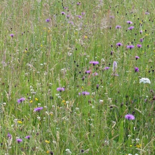Damp Loam Wildflower & Grass Seed Mix 80:20