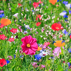 100-wildflower-seeds-bees-butterfly-mix-