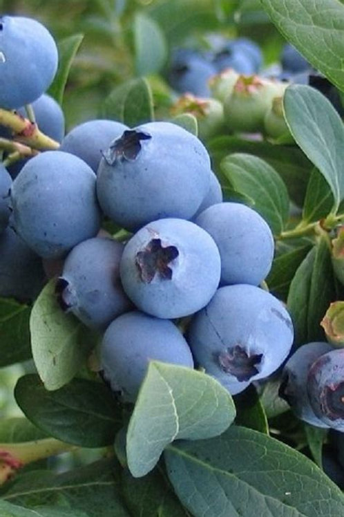 BluecropBlueberry Bush