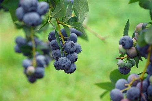 Arlen Blueberry